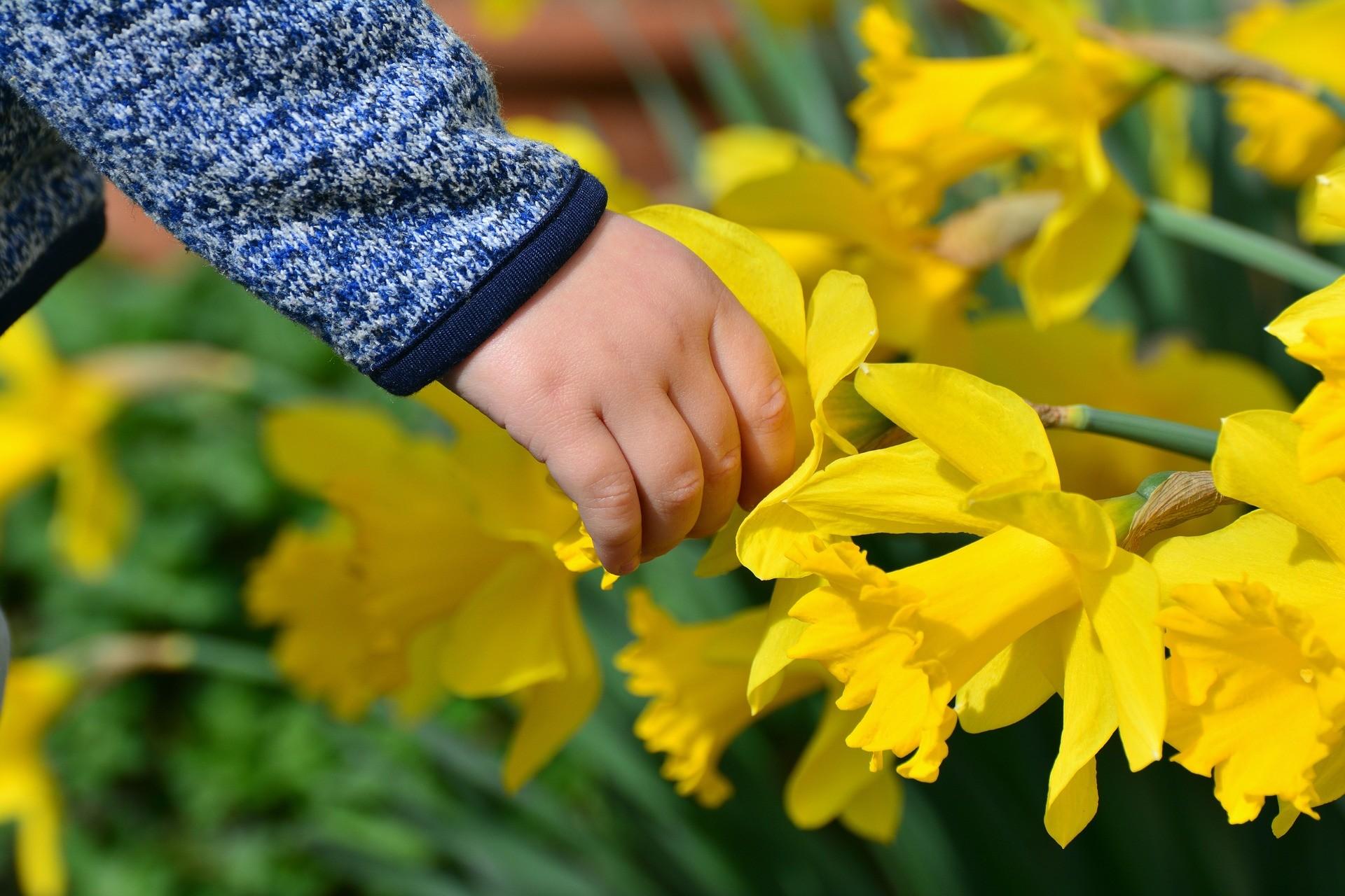 Barnehånd som berører og utforsker fine, gule påskeliljer