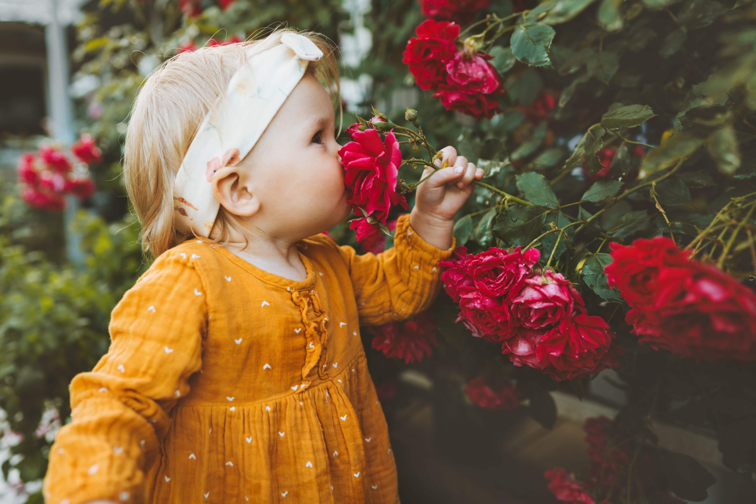 En liten jente i gul kjole og hårbånd lukter på en mørkerosa rose hun holder med sin venstre hånd